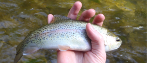 DJtrout